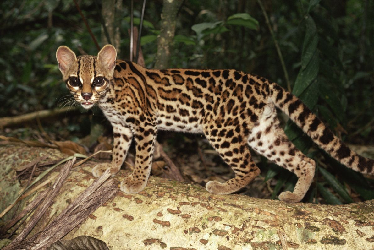 The Leopardus wiedii, or tree ocelot, displays huge eyes as it prowls through a forest in ...