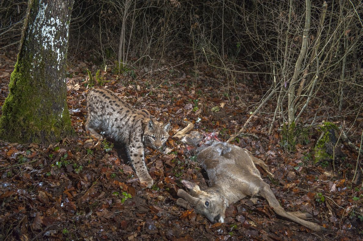 An eight-month-old male European lynx (Lynx lynx) steps around a dead roe deer in the Jura Mountains of ...