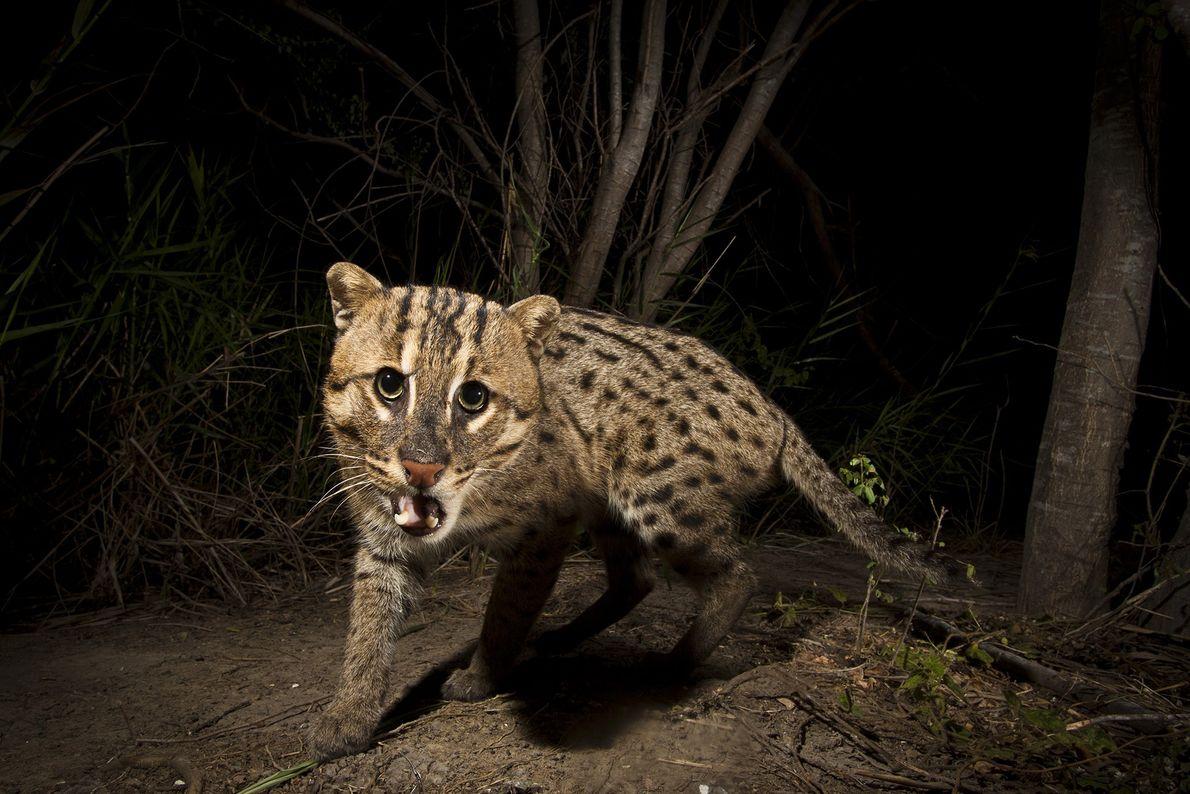 A male fishing cat (Prionailurus viverrinus) triggers a camera trap on a fish farm in Sam ...