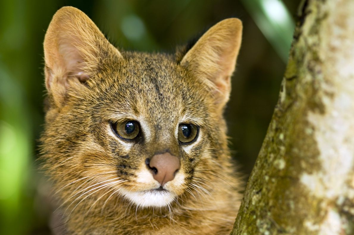 A pampas cat (Leopardus colocolo) peers from behind a tree branch in the Cerrado ecosystem in ...