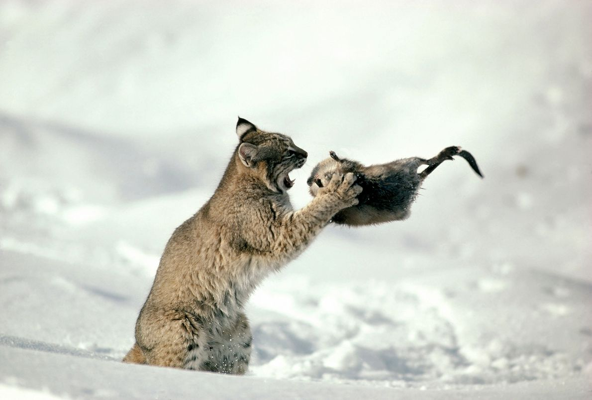 In a picture taken in 1997, a Lynx gets ready to gobble down a muskrat in ...