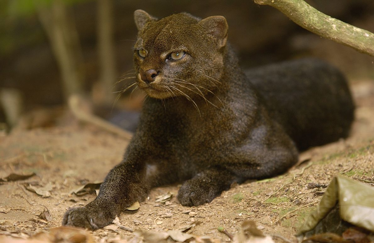 The jaguarundi's stubby ears don't seem very catlike, but its haughty expression will be familiar to ...