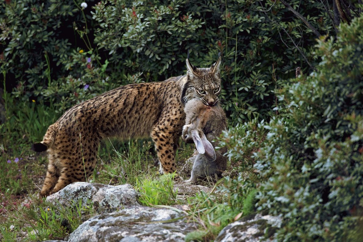 The Iberian lynx (Lynx pardinus) is perhaps the most endangered wildcat in the world.