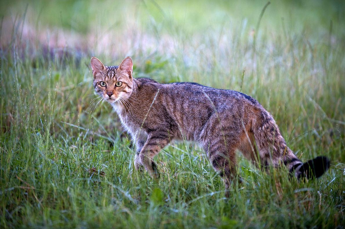 A European wildcat (Felis silvestris) pauses in a grassy field in Moldova in 2009.