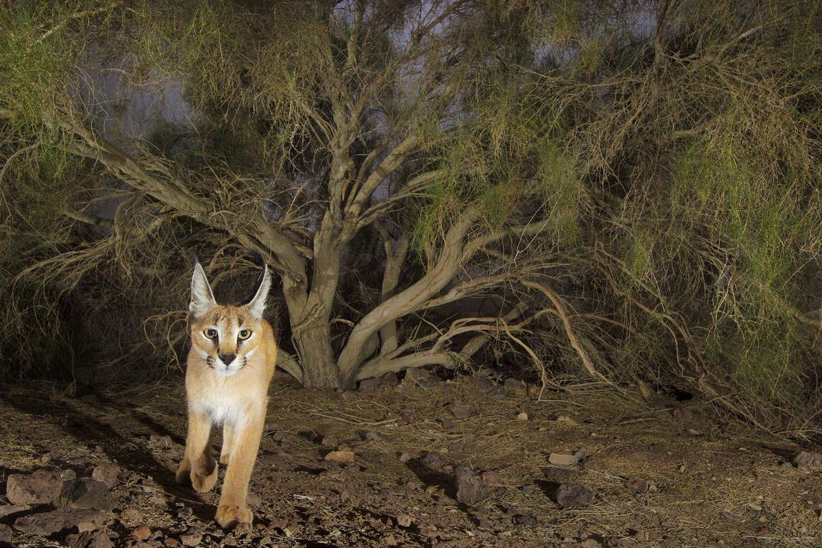 Photographer Frans Lanting caught a photo of this caracal with a camera trap in Kavir National ...