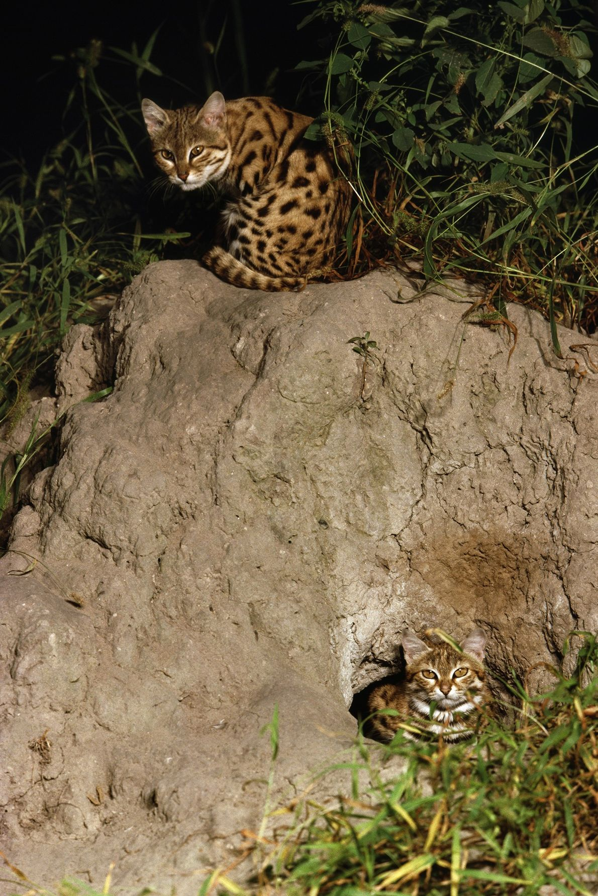 Black-footed cats crouch at their burrow in the Okavango Delta, Botswana, in an image from 2011.