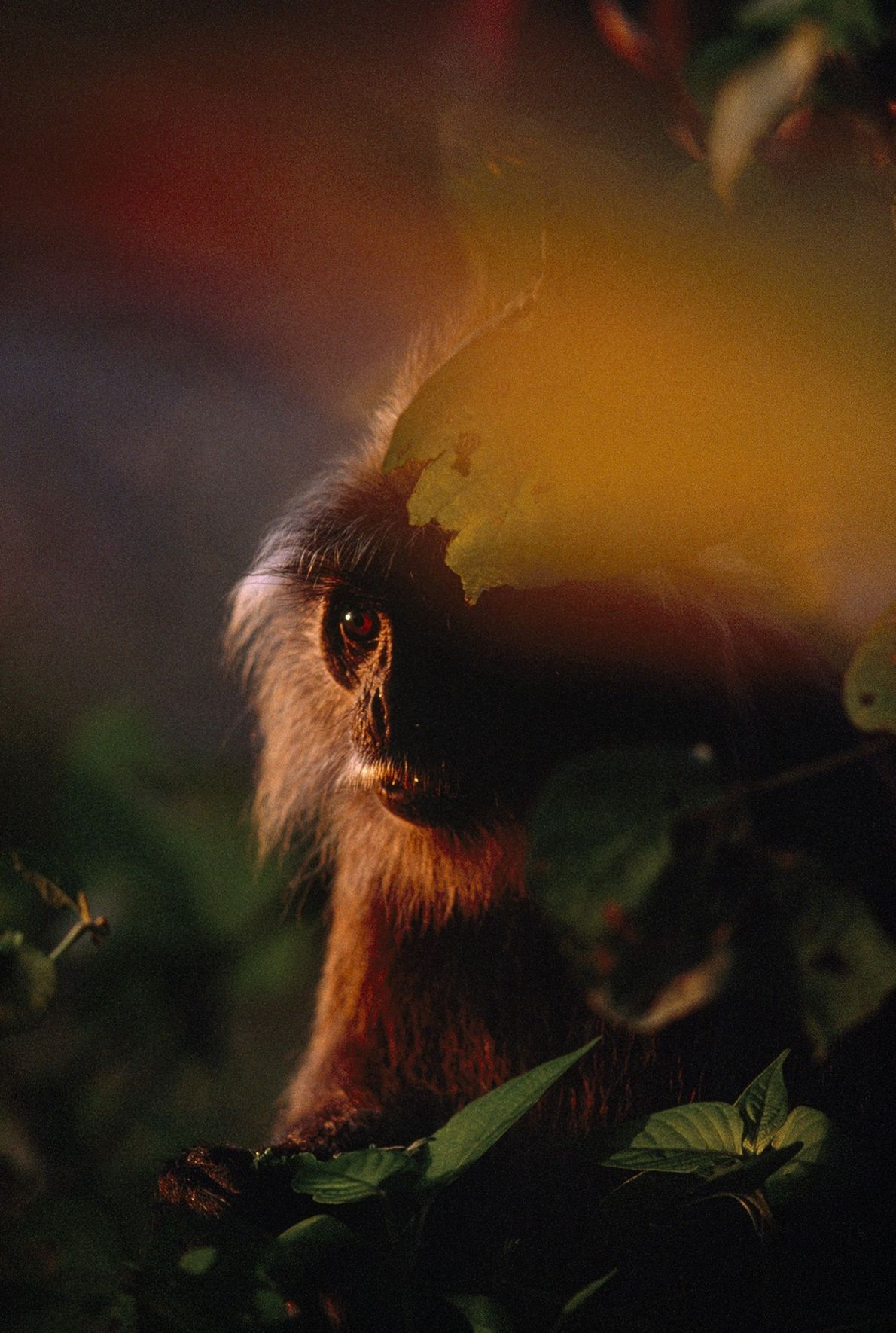 After weeks of rain, precious light penetrates the trees at sunset, burnishing a silvered leaf monkey ...