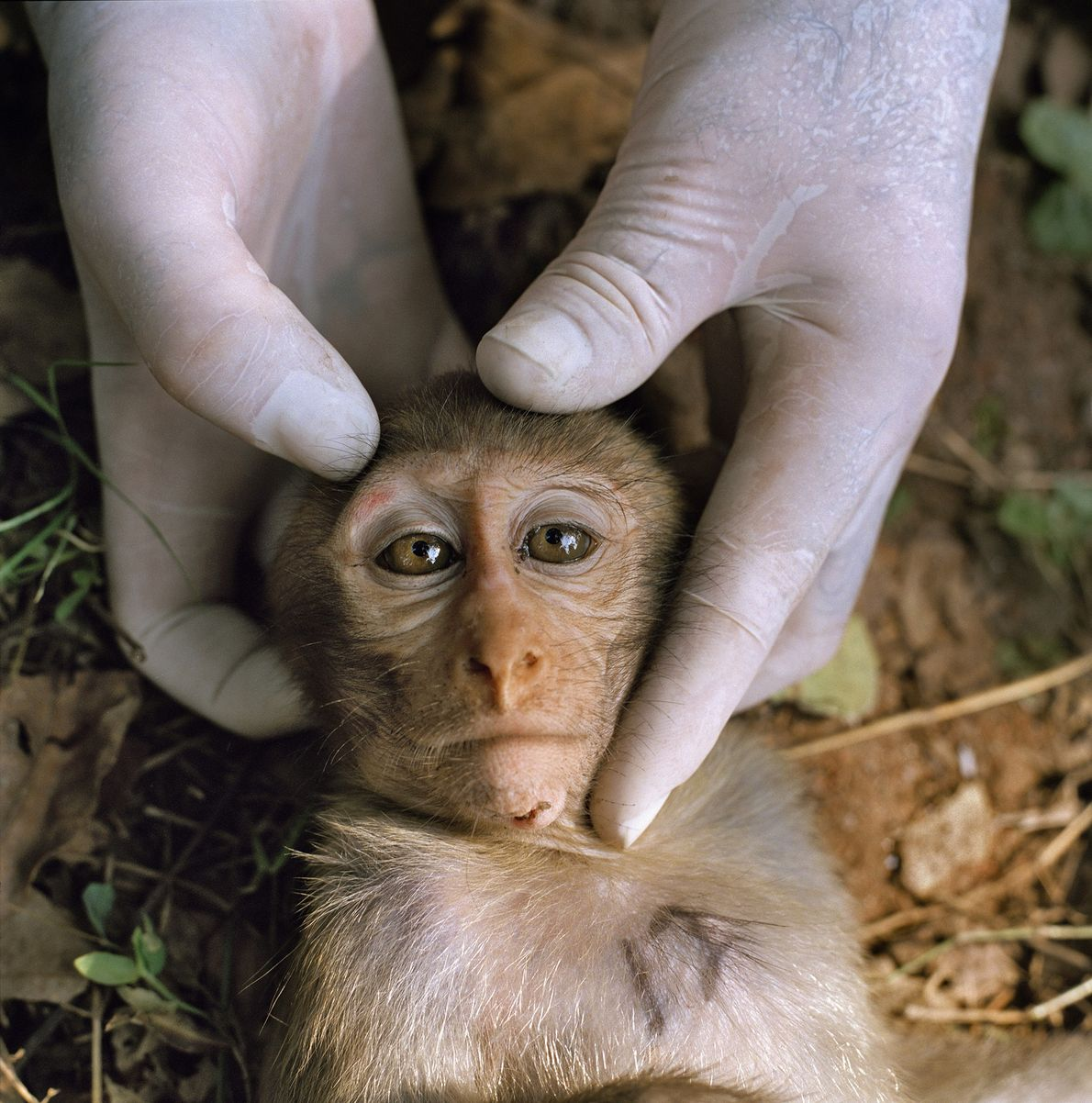 A sedated juvenile rhesus macaque is handled by a researcher in Dhamrai, Bangladesh.