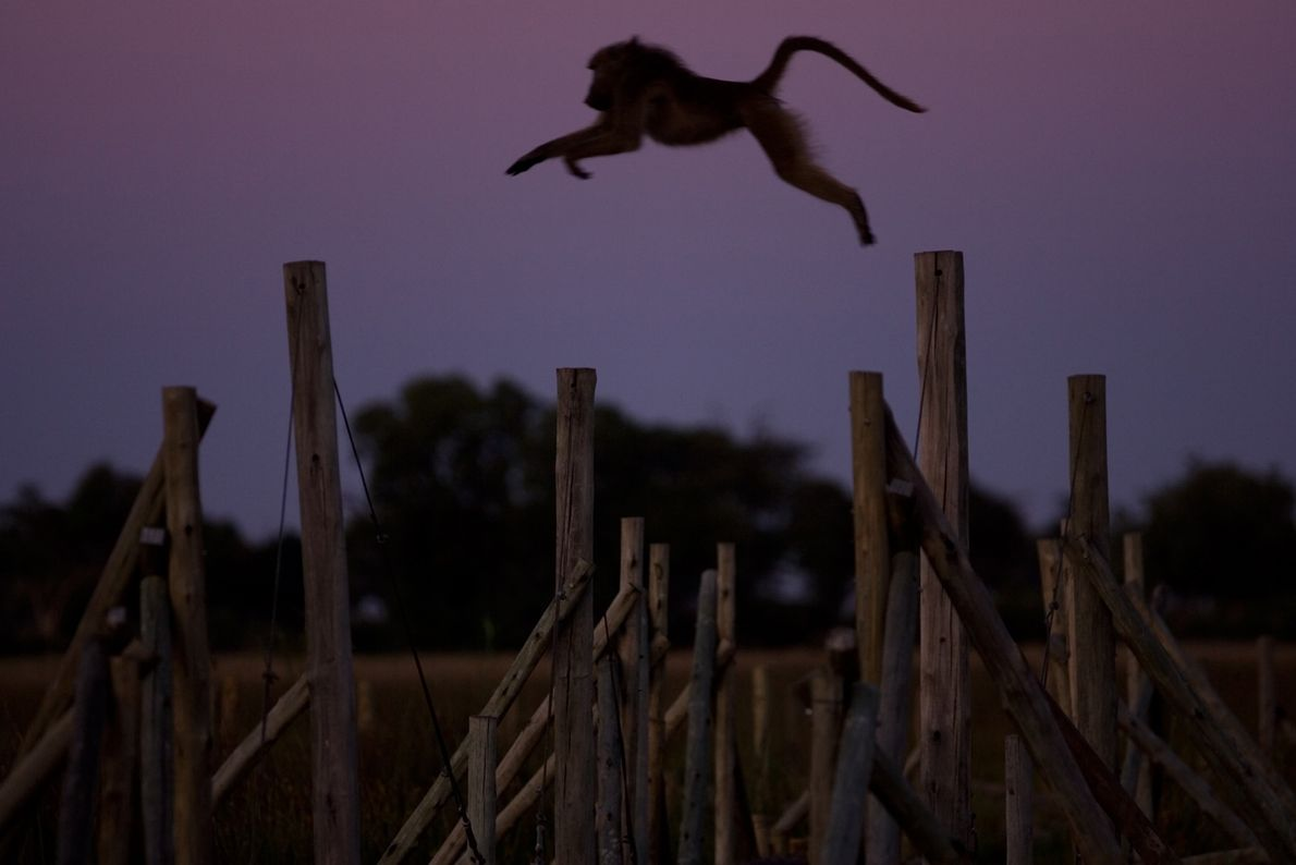 The Chacma baboon takes a long leap as darkness falls in Duba Plains, a safari camp ...