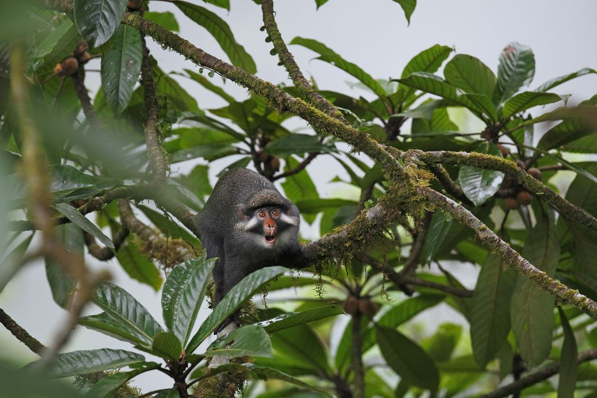 A red-eared monkey reaches out from tree limbs on Bioko Island in Guinea. This sophisticated-looking monkey ...
