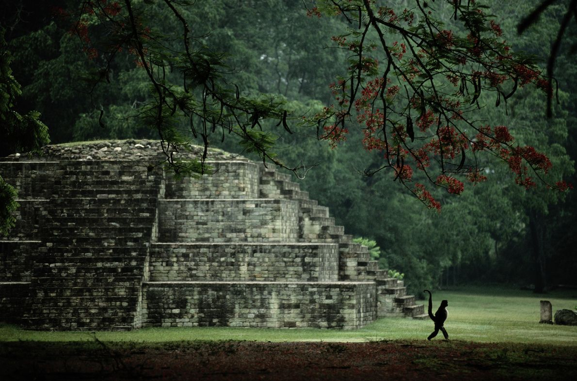 A spider monkey strolls past a small pyramid with his prehensile tail held high in Copan, ...