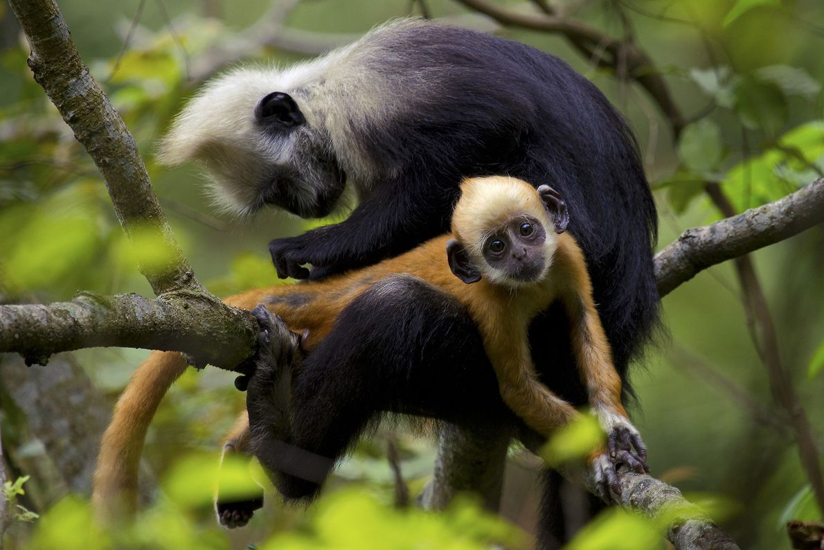 A white-headed langur grooms a juvenile in a tree in China's Chongzuo EcoPark.