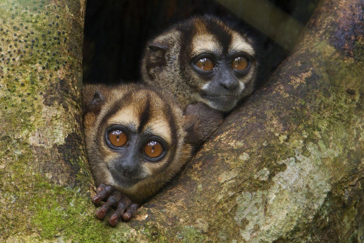 Two owl monkeys peek out of their nest in Yasuní National Park. Owl monkeys are monogamous ...