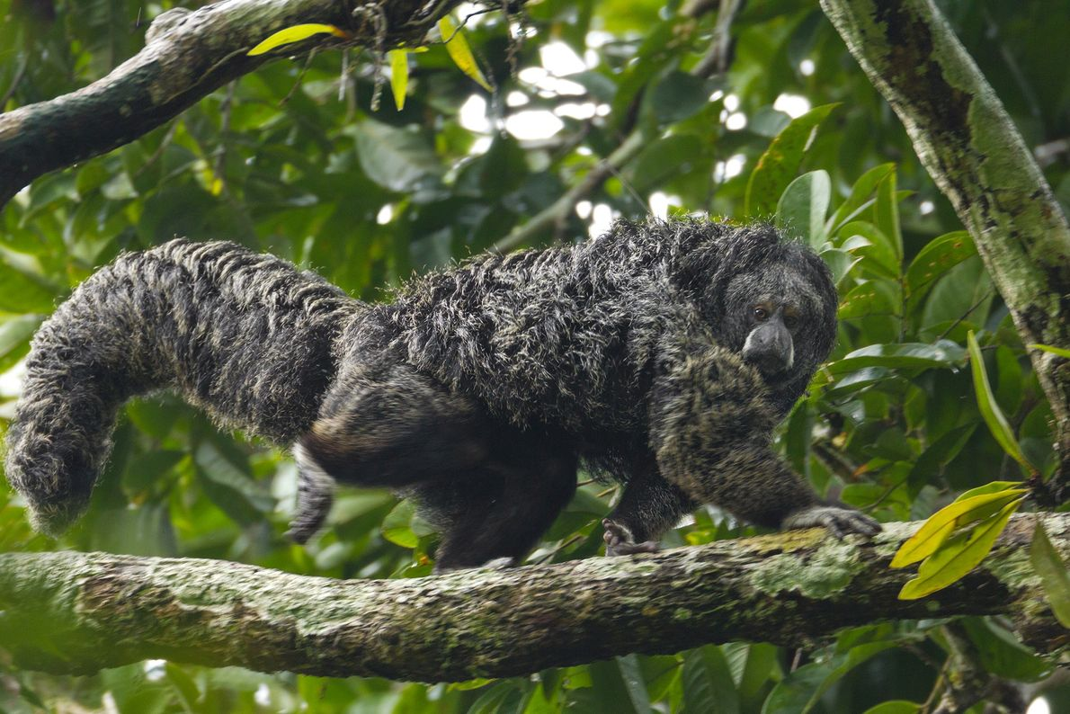 An equatorial saki gazes down as he navigates a tree limb in Yasuní National Park.