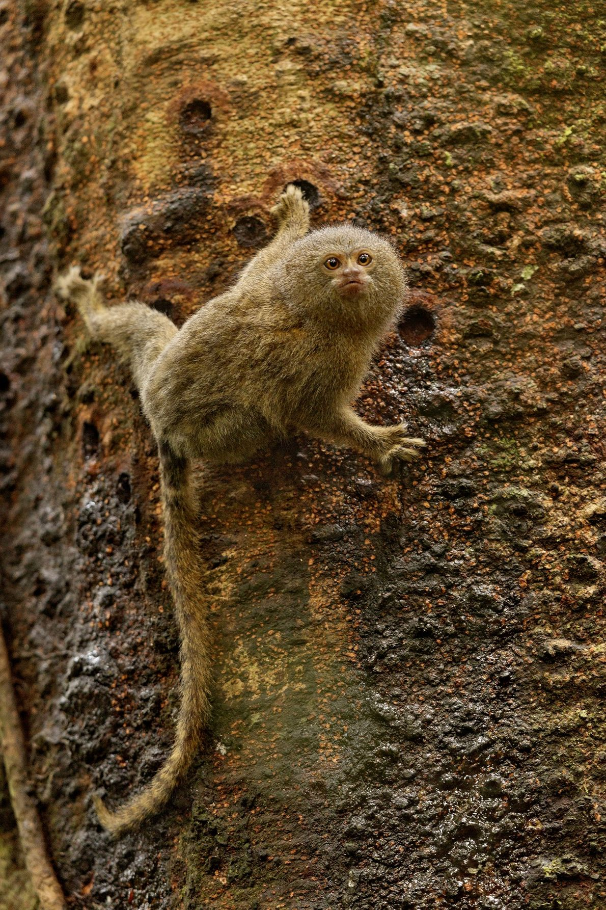 A pygmy marmoset weighs just over a hundred grams (3.5 ounces). This monkey is feeding on ...