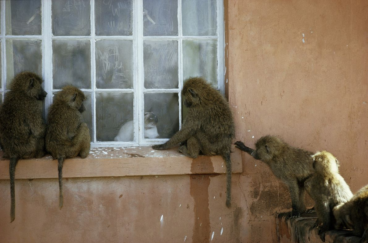 A group of olive baboons, also known as anubis baboons, gather to watch a cat through ...