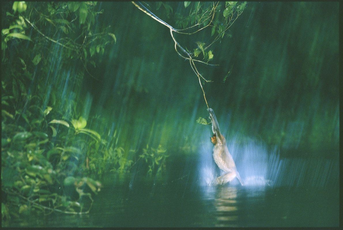 In the midst of Borneo's Malaysian jungles, a proboscis monkeysplashes in the water as it swings ...