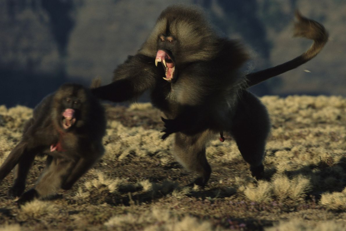A male gelada monkey, fangs bared, chases after one of his troop's females in Ethiopia's Simien ...