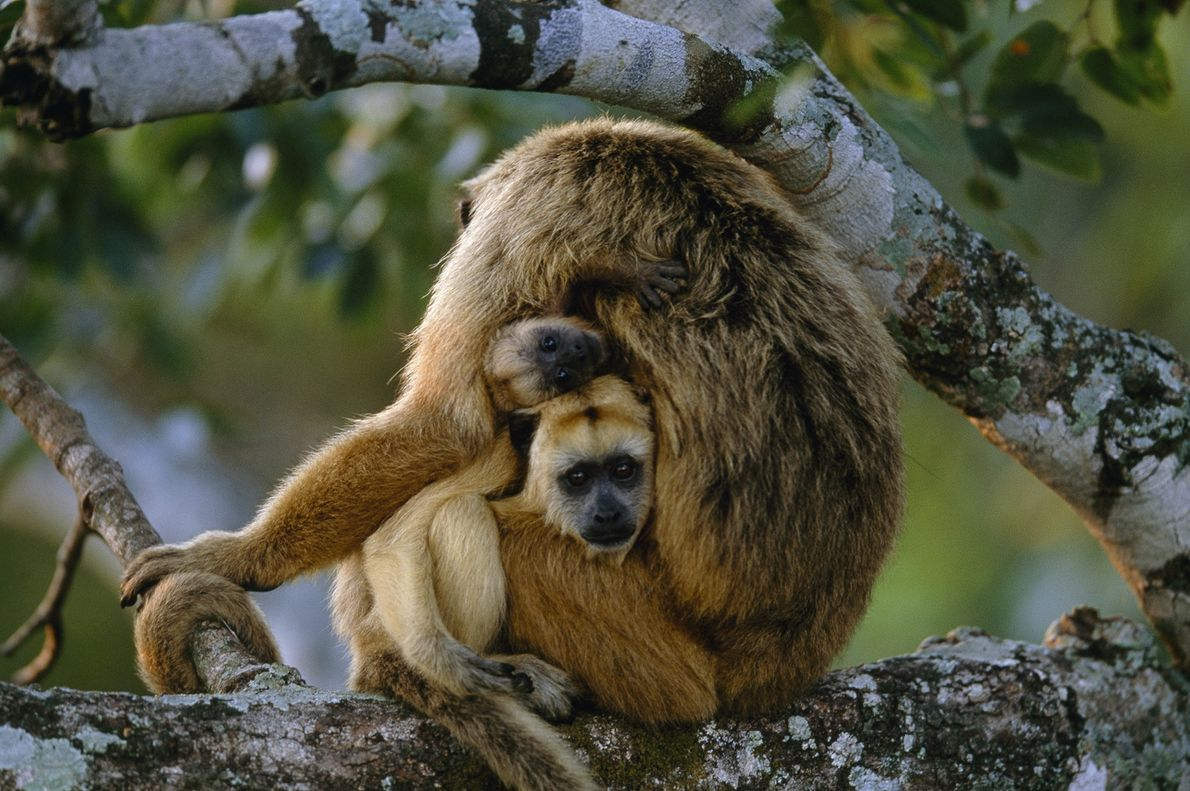 Two young howler monkeys peek out from their mother's lap in Pantanal, Brazil.