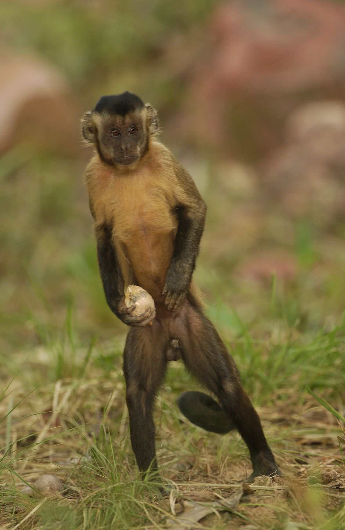 A brown capuchin monkey carries an Attalea funifera nut, looking for a stone on which to ...