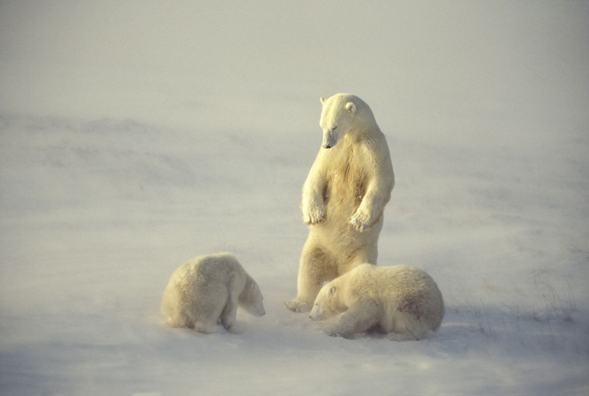 A polar bear watches her cubs on Hudson Bay in Manitoba, Canada. The bay is famous ...