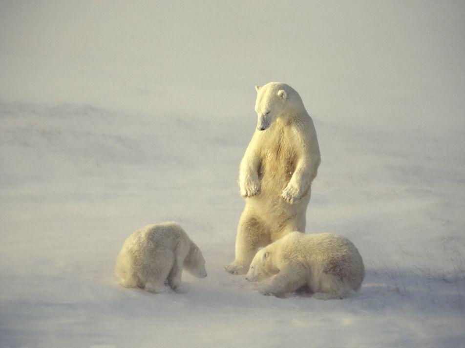 International Polar Bear Day: The World of the World's Largest Bear
