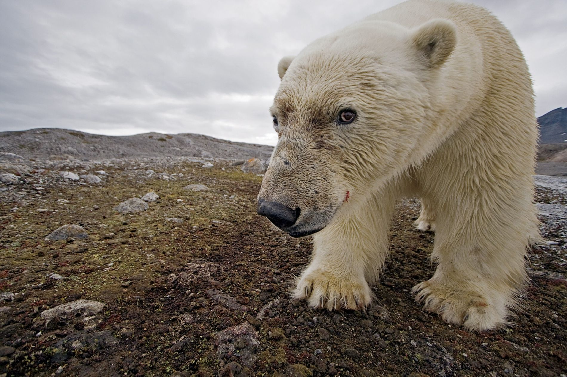 Thanks to a camera trap, a polar bear unwittingly makes a self-portrait in Svalbard.