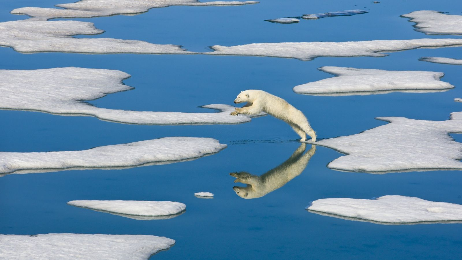 A polar bear jumps between ice floes near the island of Spitsbergen in Norway in 2010.