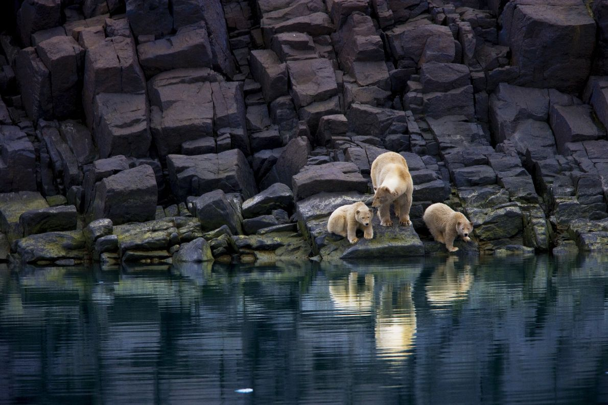 A polar bear and her cubs are stranded on an iceless shoreline in Svalbard.