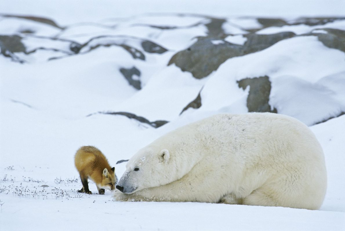 A red fox rubs noses with a polar bear on Hudson Bay in Manitoba, Canada.