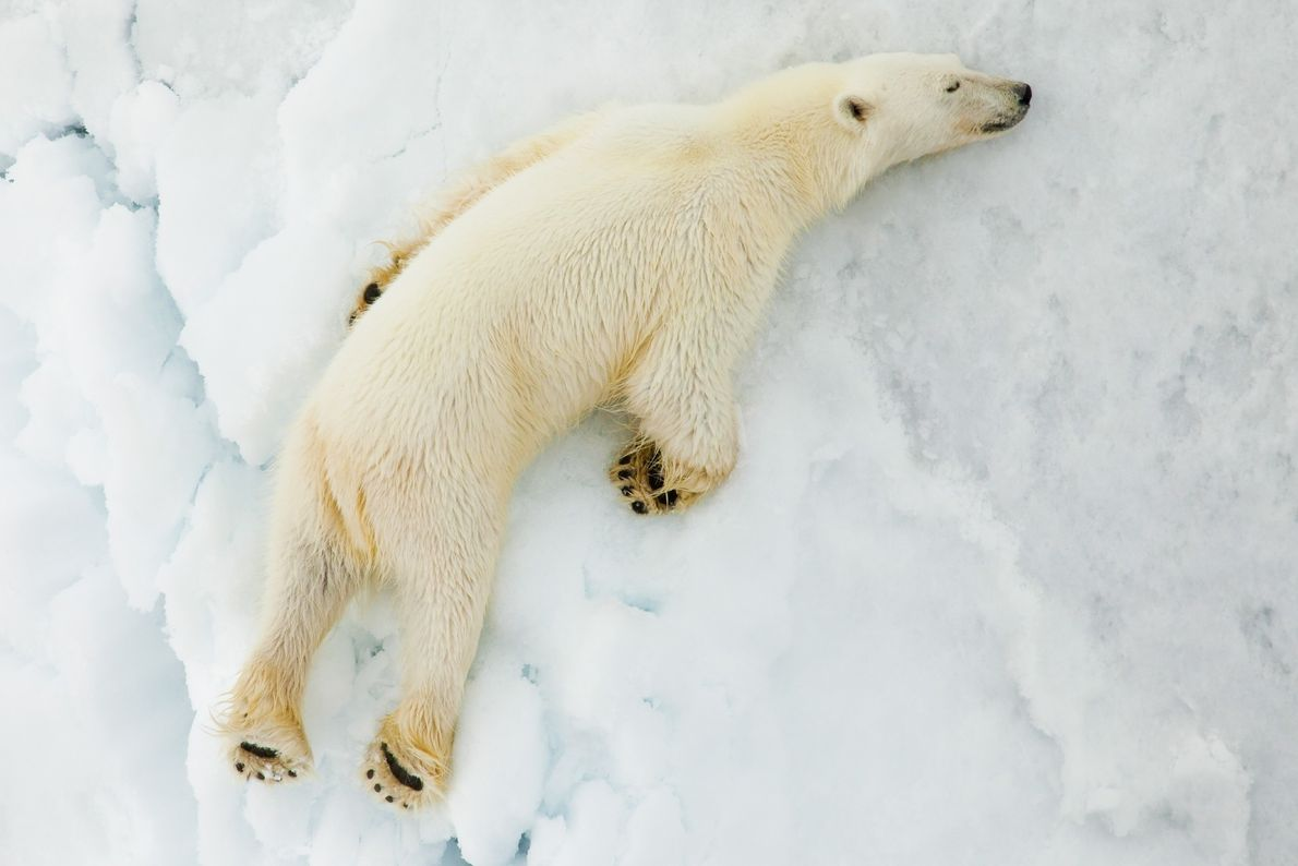 A polar bear sleeps on ice in Svalbard.