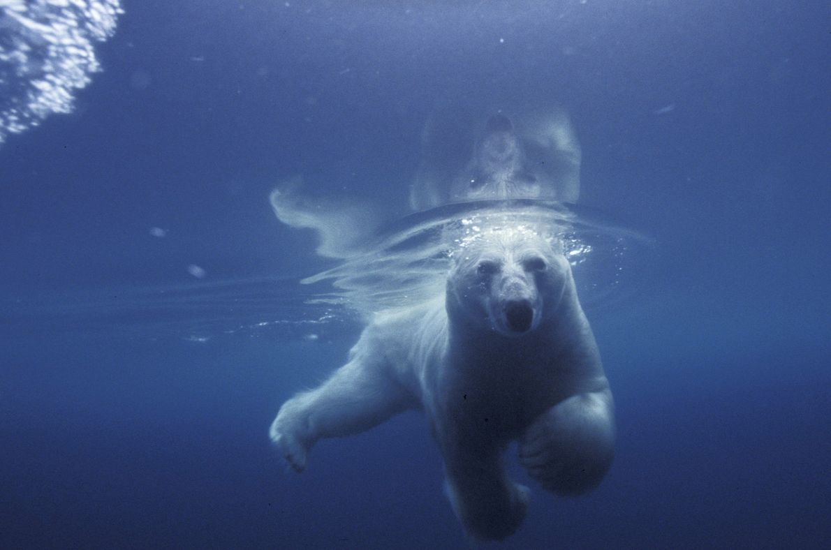 A polar bear swims in Admiralty Inlet in Nunavut, Canada.