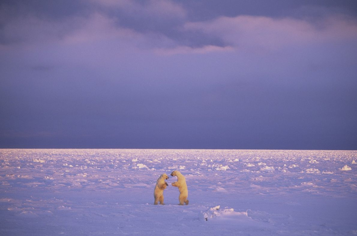 Two polar bears face off against each other in Churchill, Manitoba, in northern Canada.