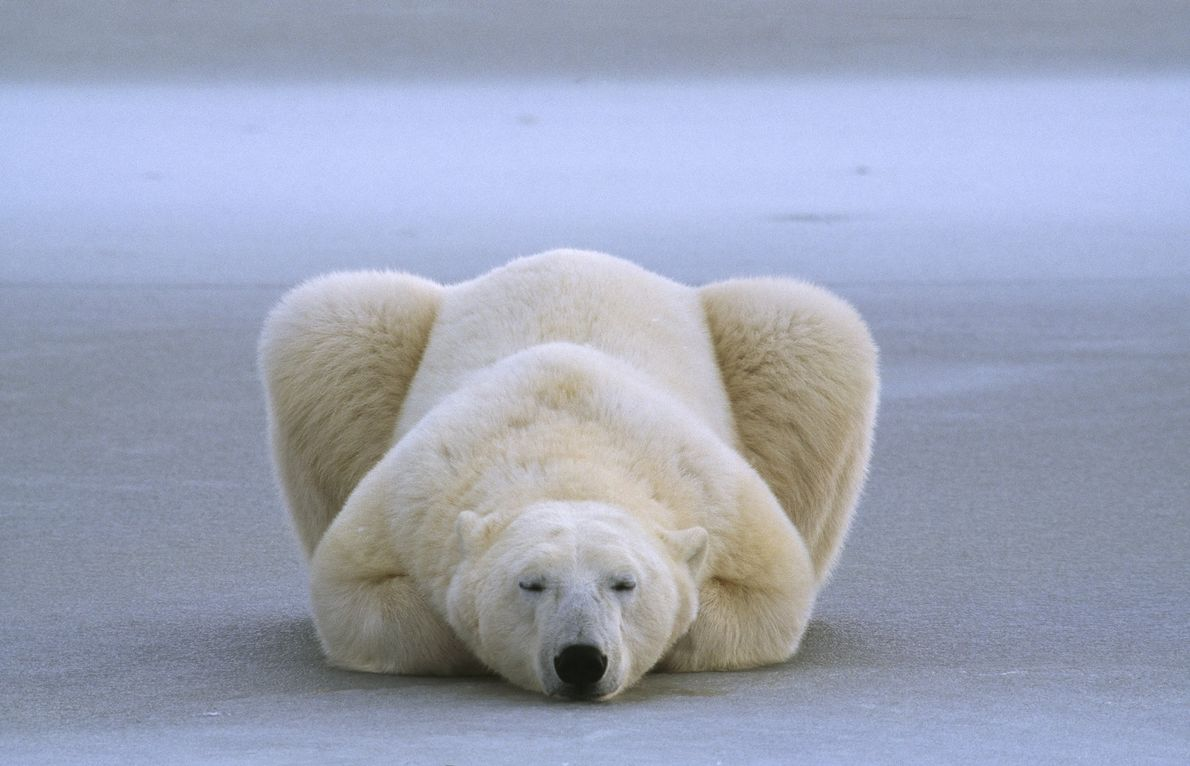 A polar bear sleeps with his paws folded underneath.
