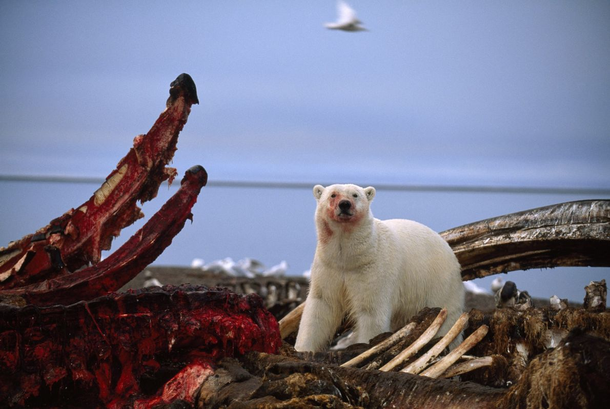 A polar bear stands over a partially eaten whale carcass in Kaktovik, Alaska.