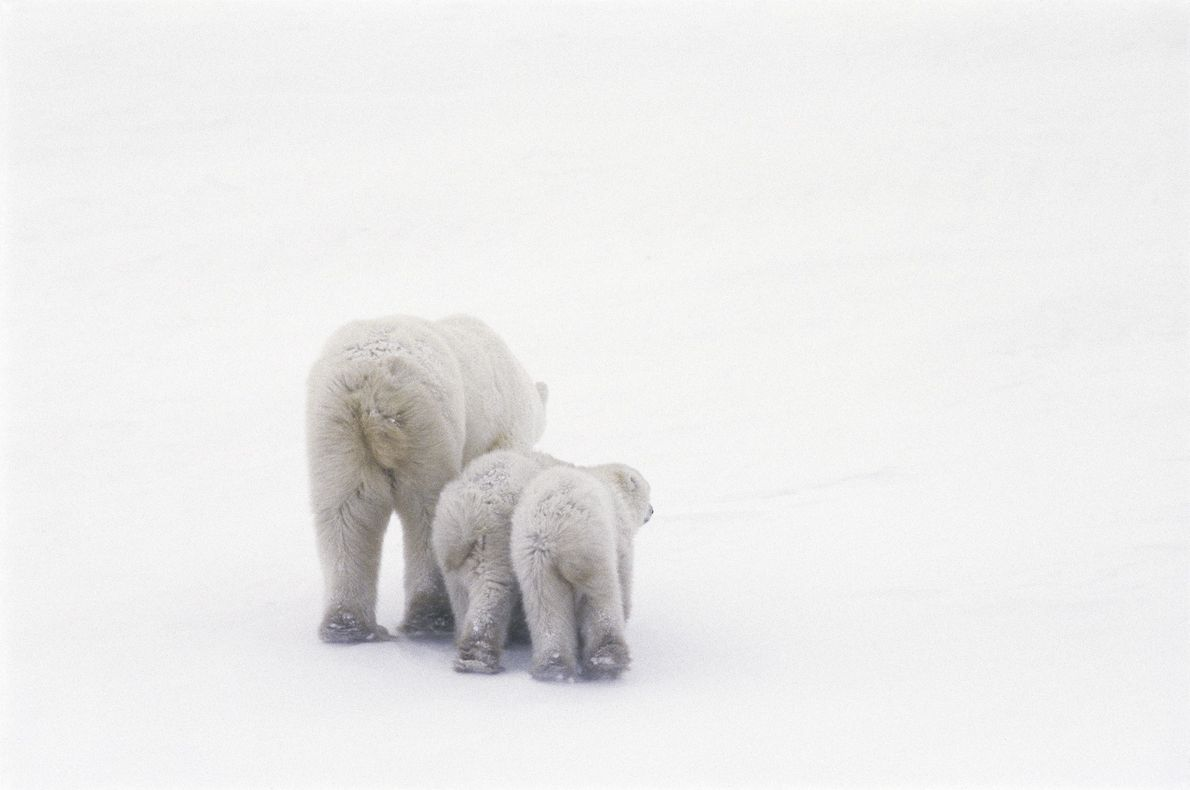 A polar bear and cubs walk away from the camera in Manitoba, Canada.