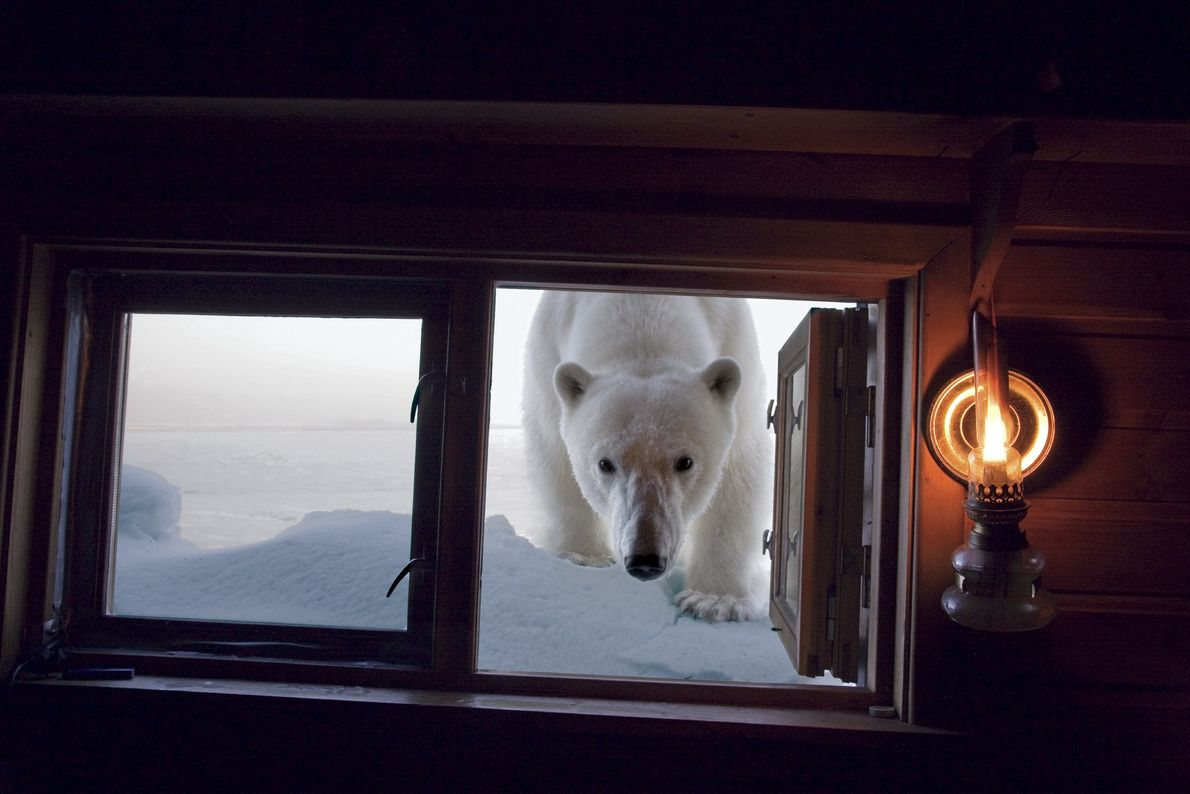 A polar bear inspects photographer Paul Nicklen's cabin – his home while on assignment for National ...