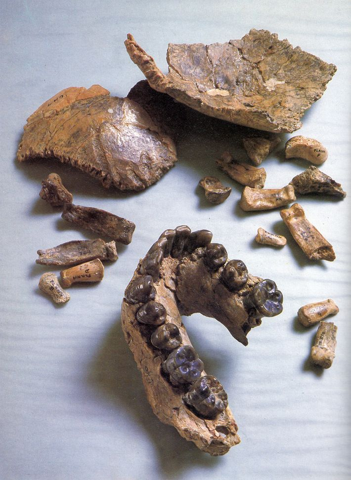 A new reconstruction of this fossil Homo habilis skull, called Olduvai Hominid 7, finds a mix ...
