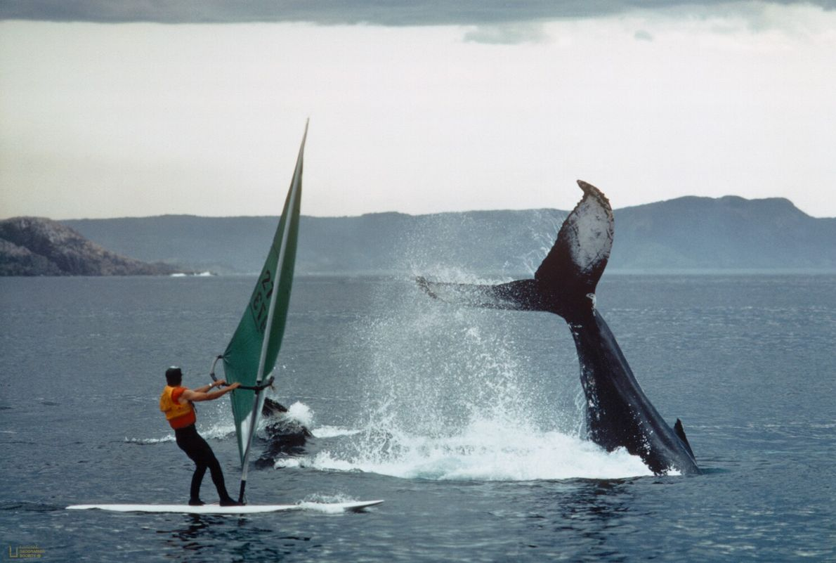 Picture of two humpback whales breaching the surface of Bonavista Bay, Newfoundland, Canada, while a windsurfer ...