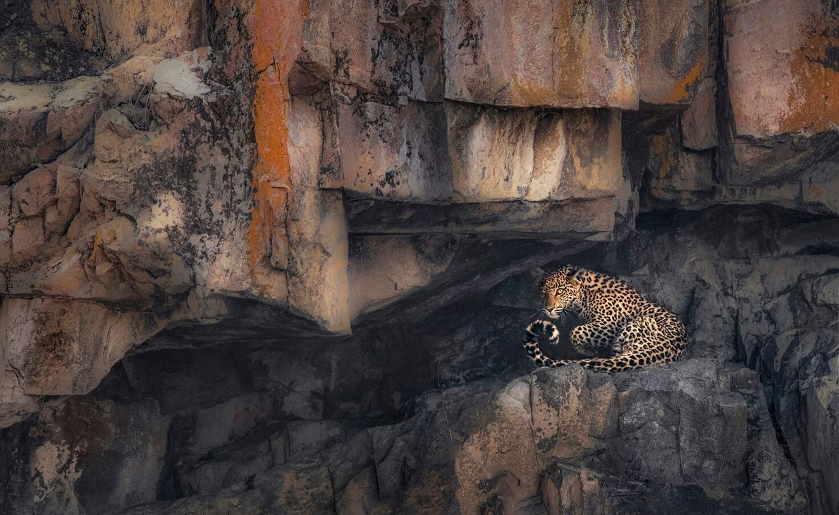 This image of a leopard by Panos Laskarakis was shot in Savuti, Botswana, and was shortlisted ...