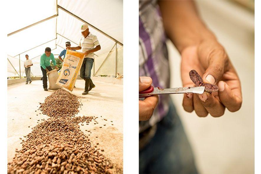 Cacao harvesting