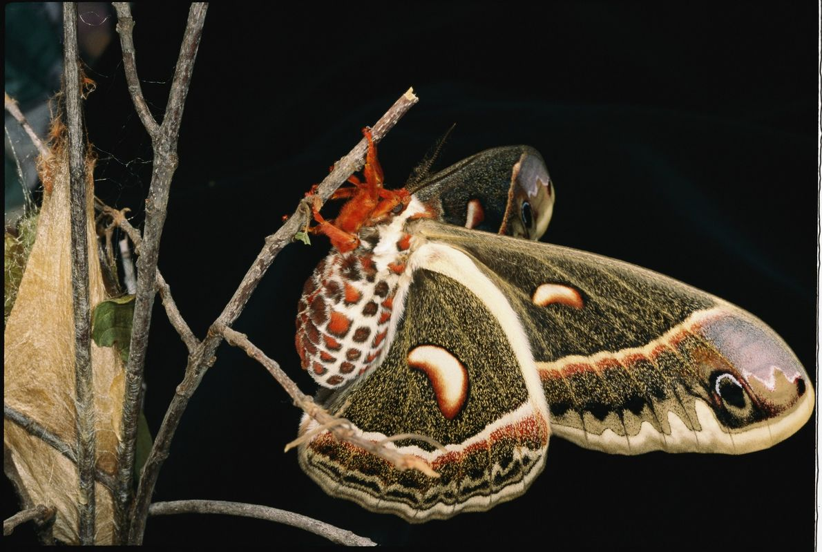 After emerging from her cocoon (left), this female cecropia moth, Hyalophora cecropia, rests to let her ...