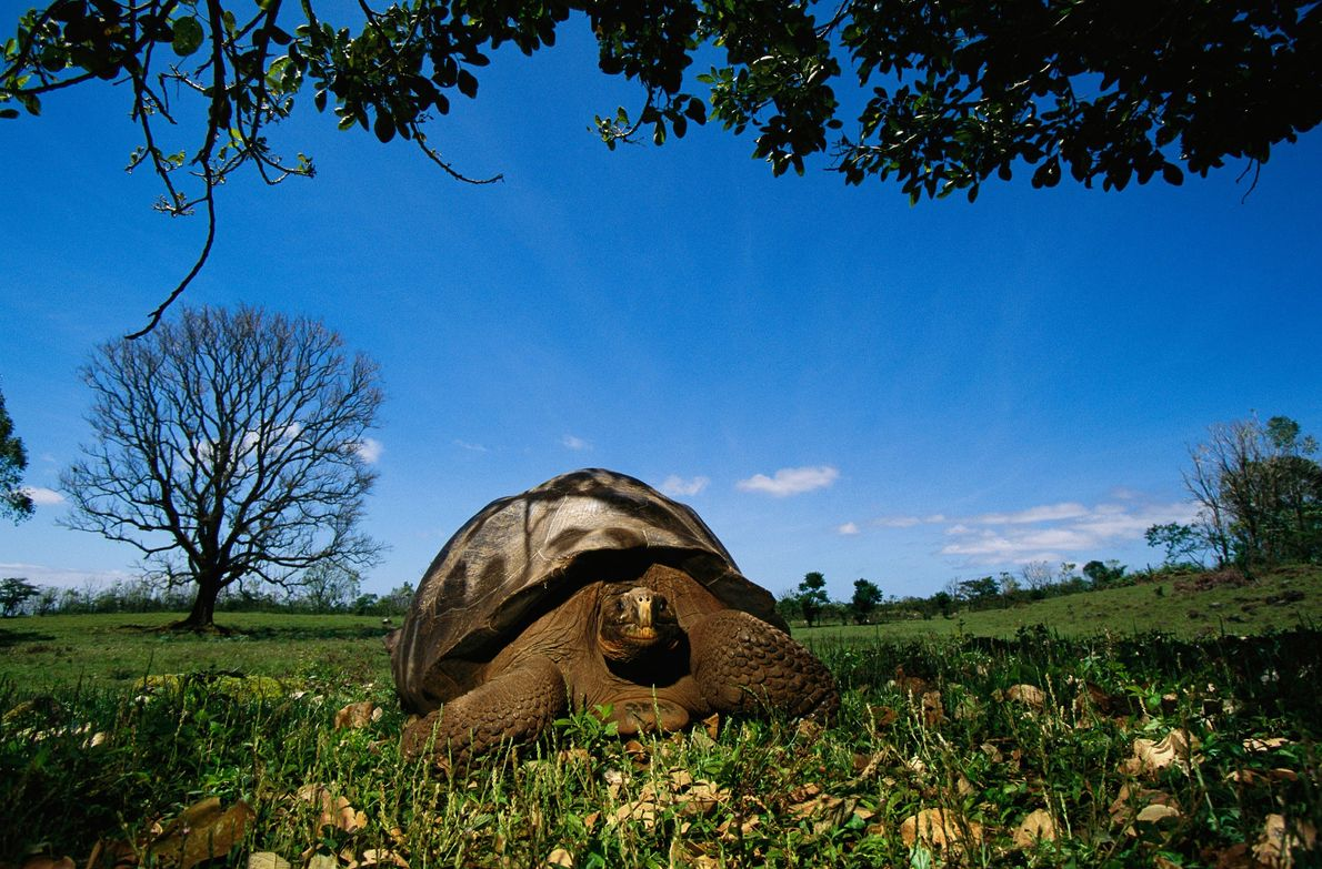 The Galápagos tortoises of the Galapagos Islands are the largest tortoises on Earth. Some can grow ...