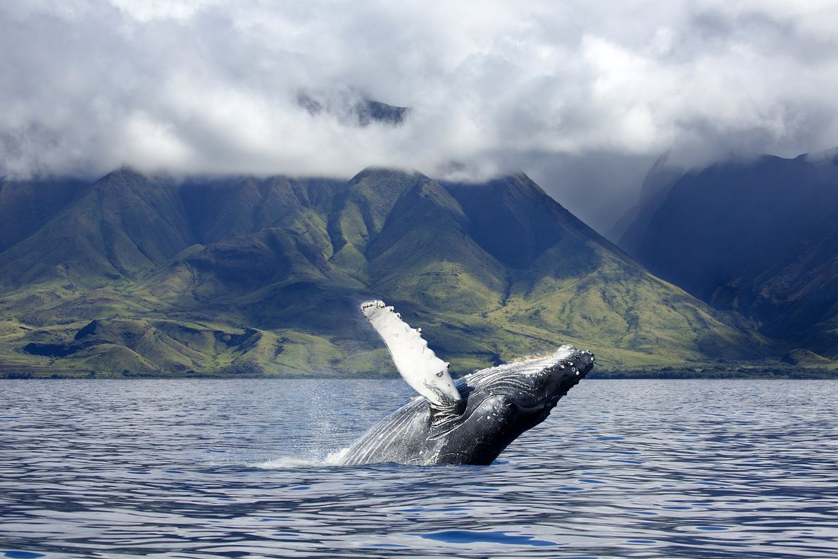Meet the humpbacks where they play in Maui