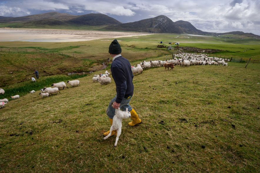 Kenny MacKay gathers sheep at Northton, on the Isle of Harris in the Outer Hebrides. The …