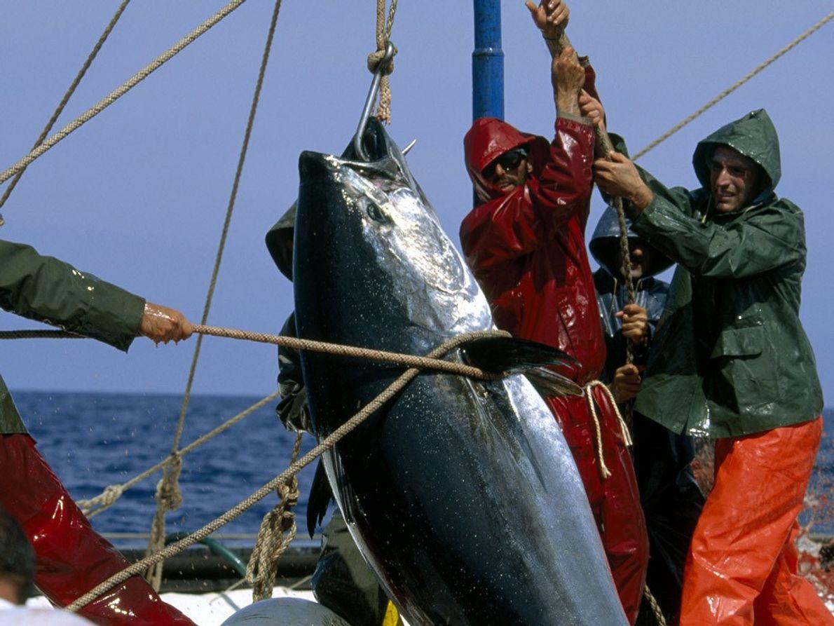 Bluefin Tuna, Mediterranean