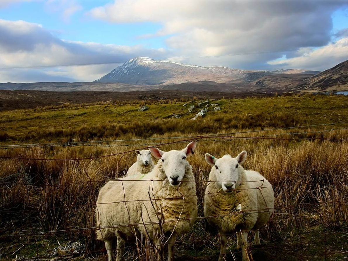 Sheepherding in Scotland has a long history, not all of it pleasant. Many of the pastures …