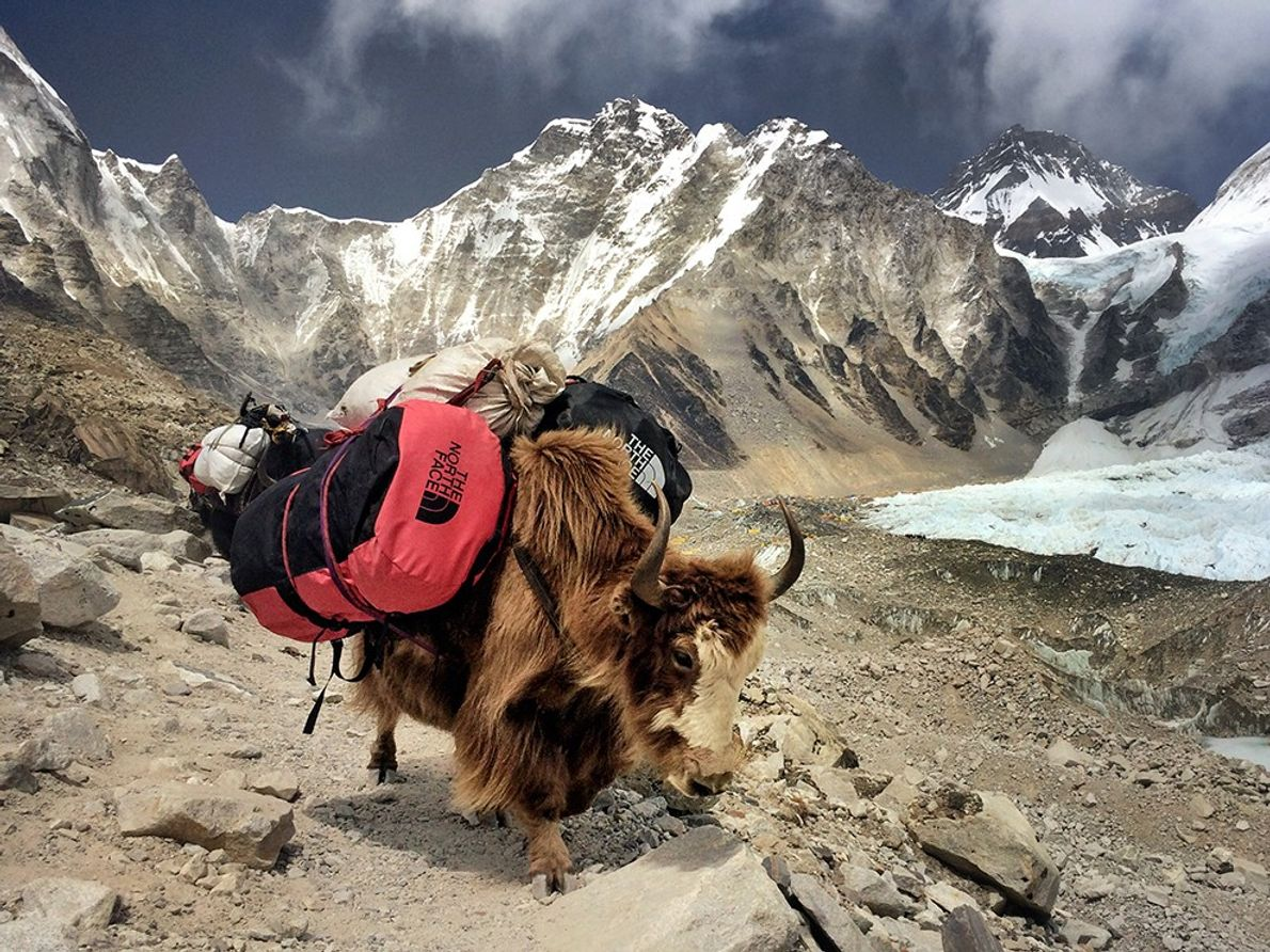 """""""Yaks (and female naks) play such an important role in the Everest region not only for ..."""