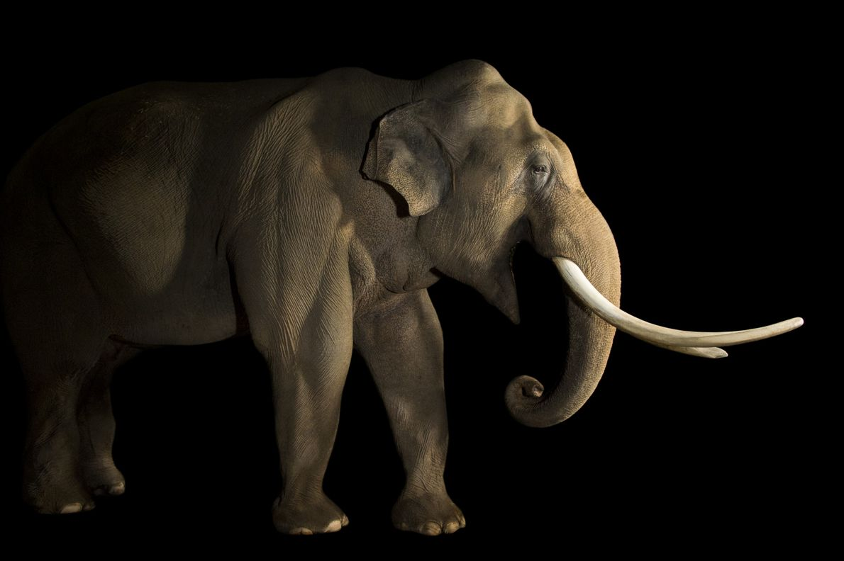 Not as large as the African elephant, the Asian elephant also has smaller, rounded ears. Those ...