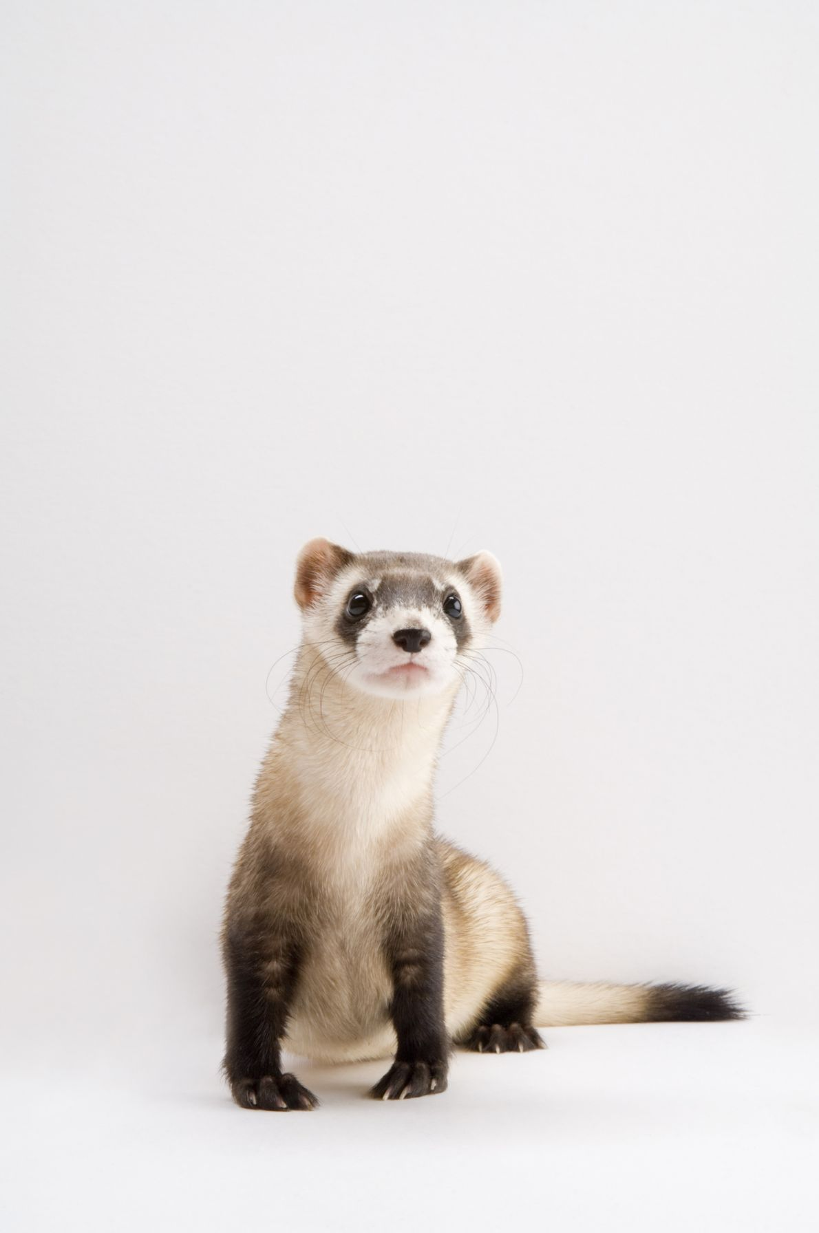 The slender body of the black-footed ferret (Mustela nigripes) enables this masked hunter to crawl through ...